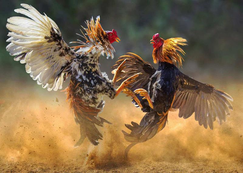 Judi Sabung Ayam S128