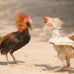 Tata Cara Bermain di Sabung Ayam S128